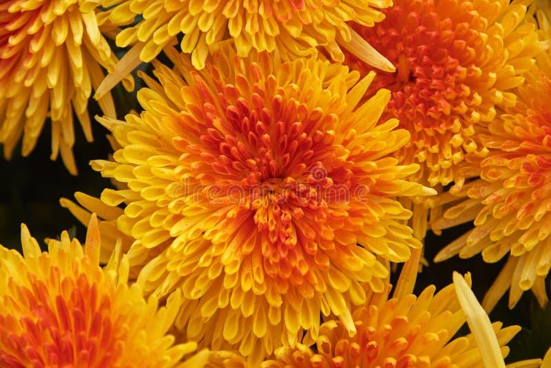 橙黄菊花花束的顶视图  图库摄影