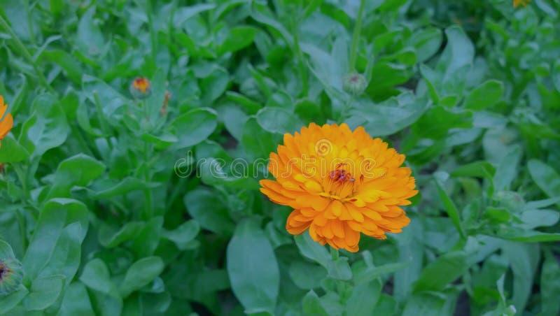 橙黄色的花 免版税库存图片