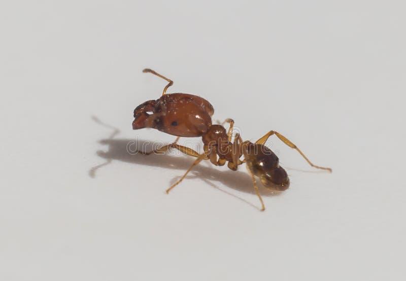 橙黄蜂密蚂蚁 库存图片