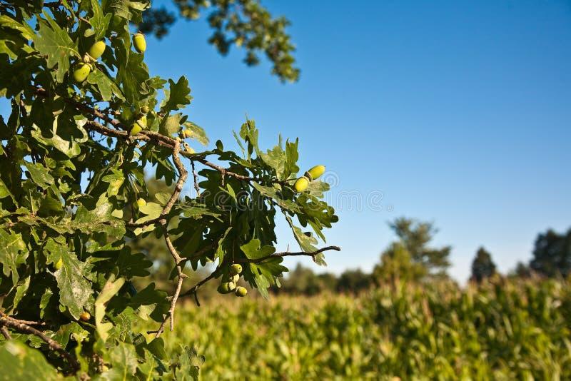 橡子分行橡木野生生物 库存图片