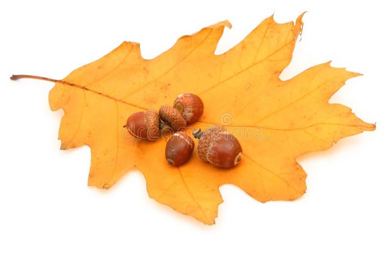 橡子叶子橡木 免版税库存照片