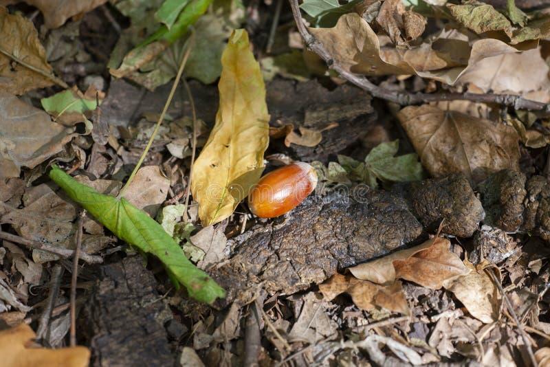 橡子和一棵干燥橡木在地面上生叶在秋天森林里 免版税库存照片