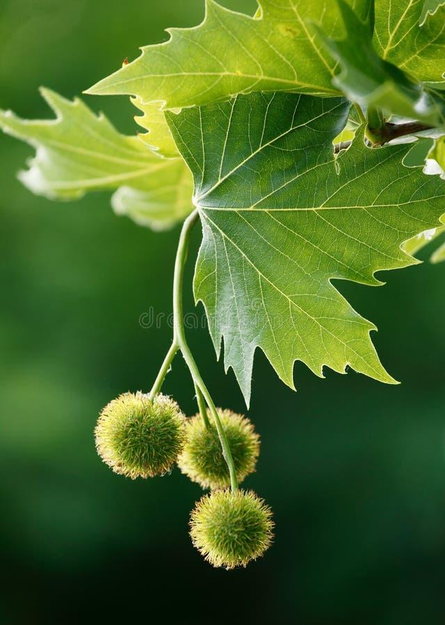 橡子槭树 库存图片