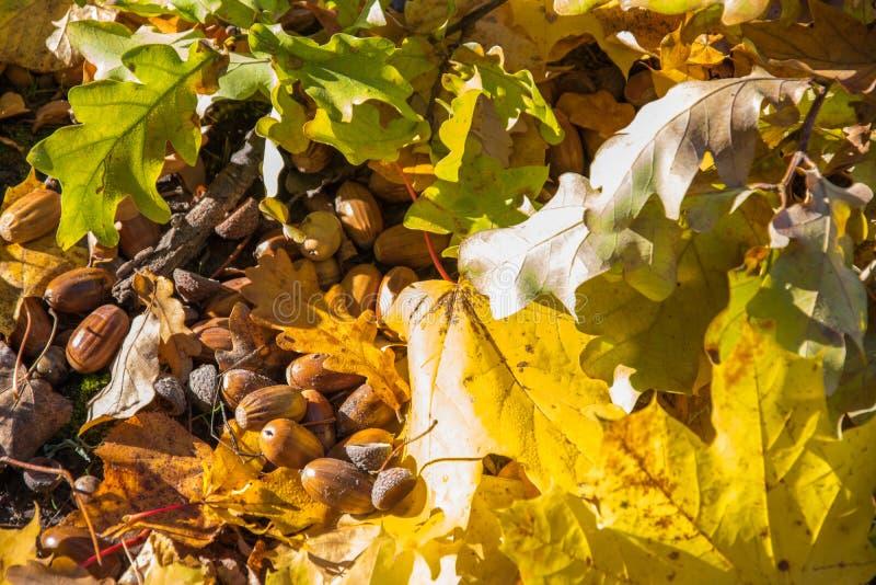橡子特写镜头 秋天槭树和橡木橡子和落叶  音响 秋天背景特写镜头上色常春藤叶子橙红 金黄秋天 免版税库存照片