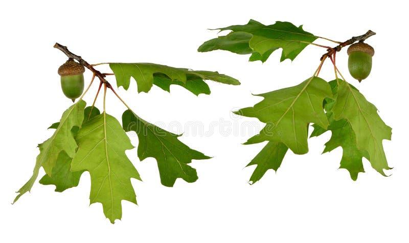 橡子离开橡木 查出 夏天 秋天 图库摄影