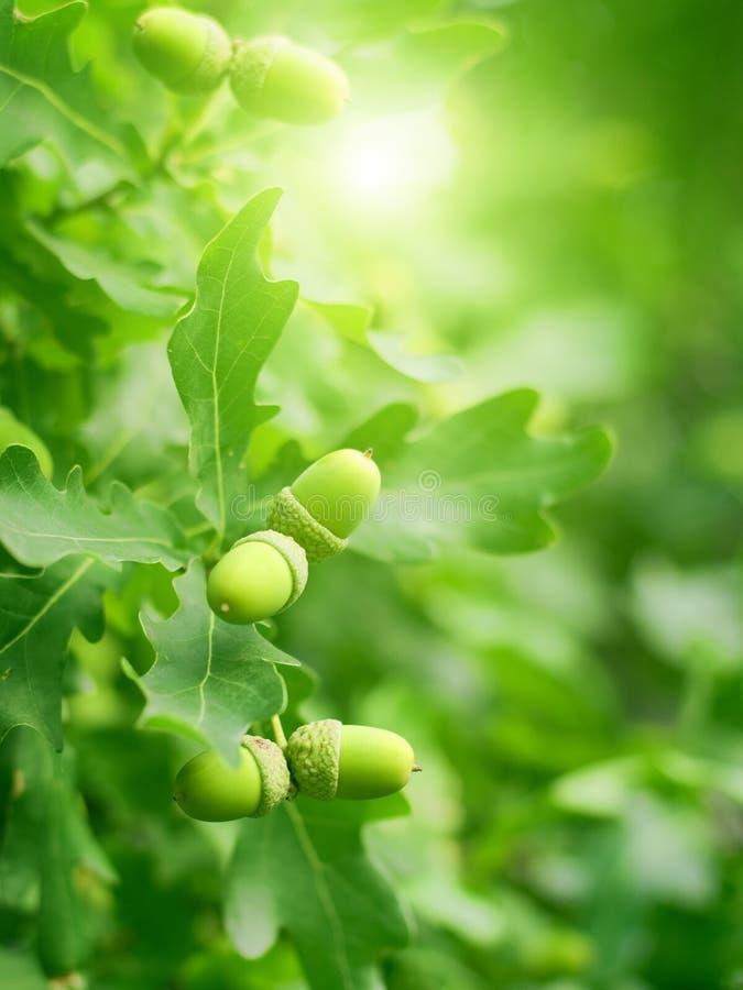 橡子绿色留下橡木 免版税图库摄影