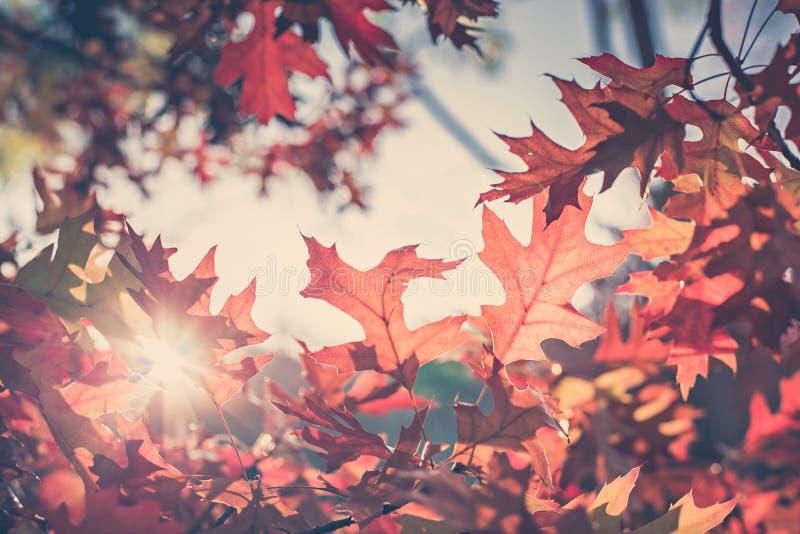 橡木与太阳的秋叶背景 免版税库存图片
