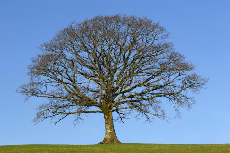 橡木冬天 免版税库存图片