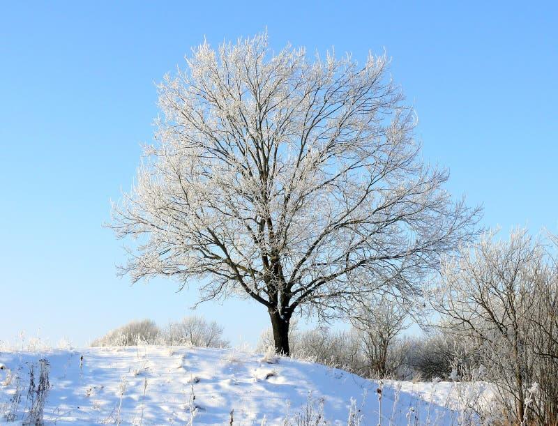 橡木冬天 库存图片