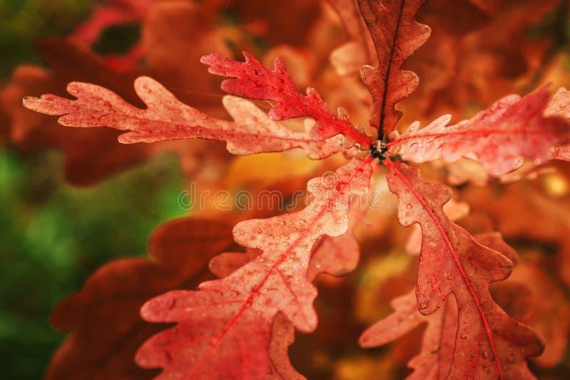 橡木叶子橙色颜色在森林里 免版税图库摄影