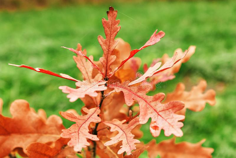 橡木叶子橙色颜色在森林里 库存照片