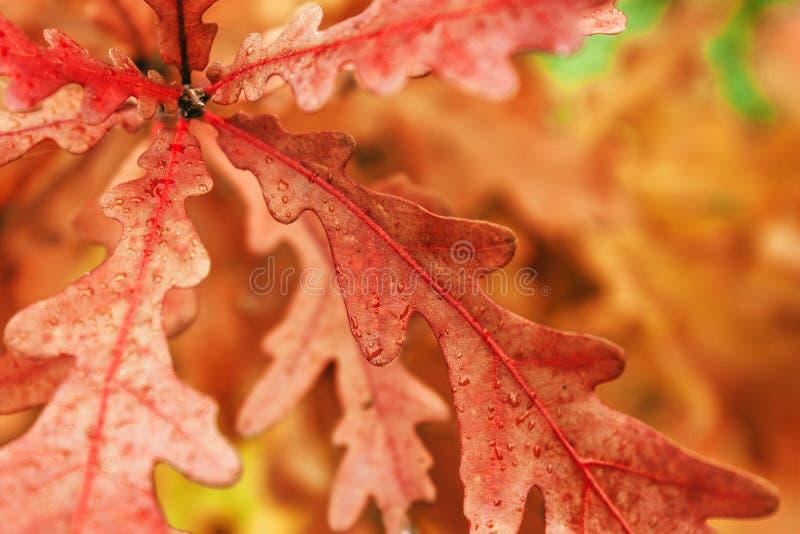 橡木叶子橙色颜色在森林里 库存图片