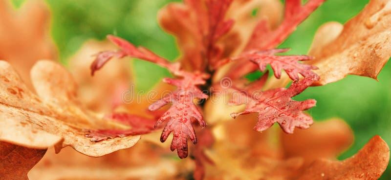 橡木叶子橙色颜色在森林里 免版税库存照片