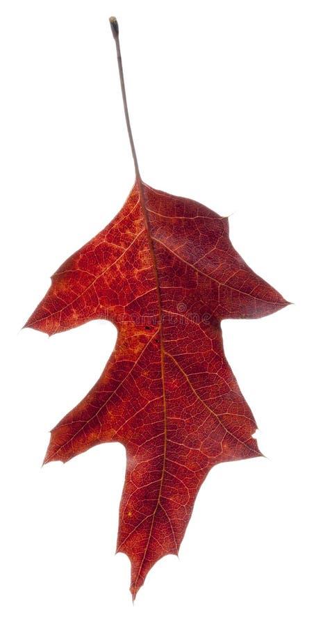 读橡木叶子落 图库摄影