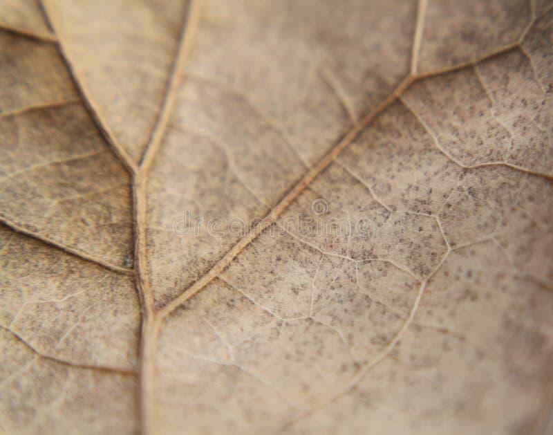 橡木叶子,褐色,极端特写镜头或宏指令,成脉络显示 库存图片