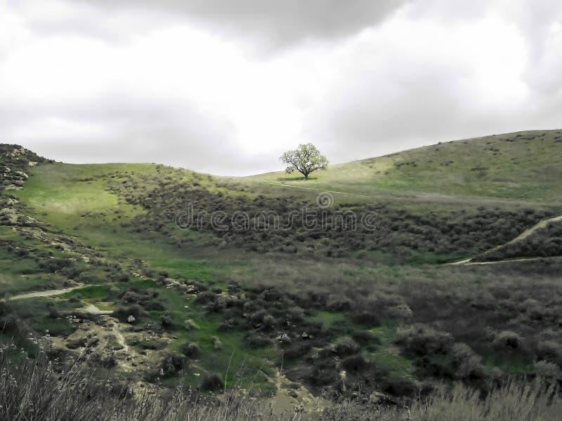 橡木在绿色草山的阳光下单独站立 库存图片