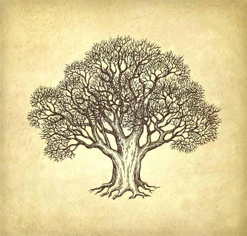橡木墨水剪影没有叶子的 库存例证