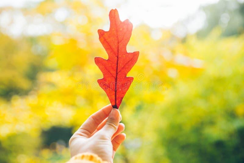 橡木妇女手举行美丽的红色叶子  库存图片