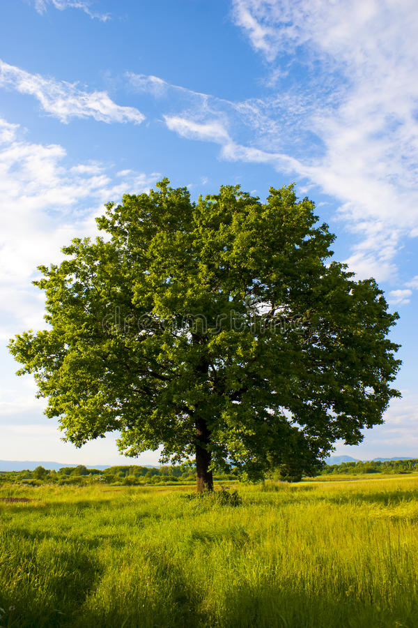 橡木孤零零结构树 免版税图库摄影