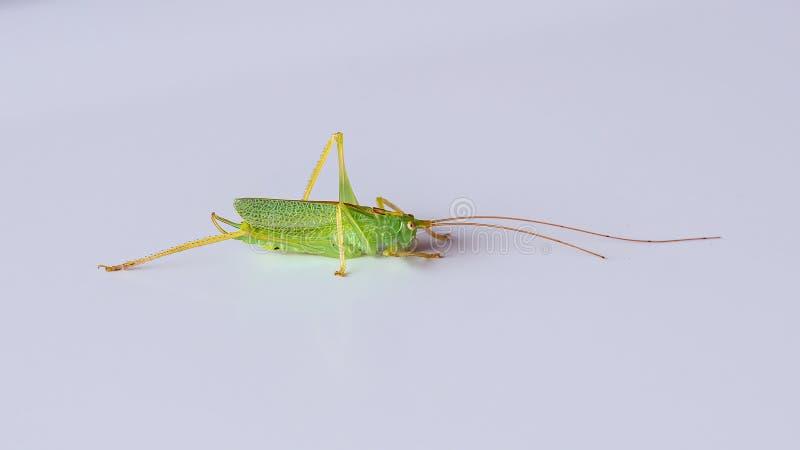 橡木布什蟋蟀- Meconema thalassinum,渥斯特夏,英国 免版税图库摄影