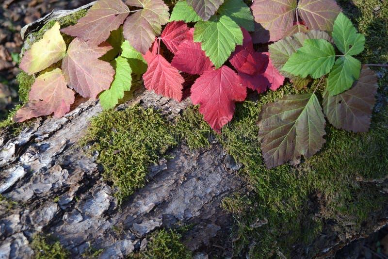 橡木断枝、葡萄叶子和青苔 免版税图库摄影