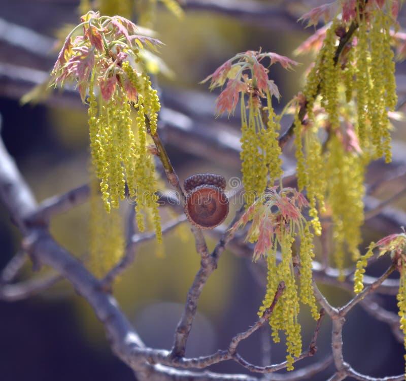 橡木柔荑花 库存照片