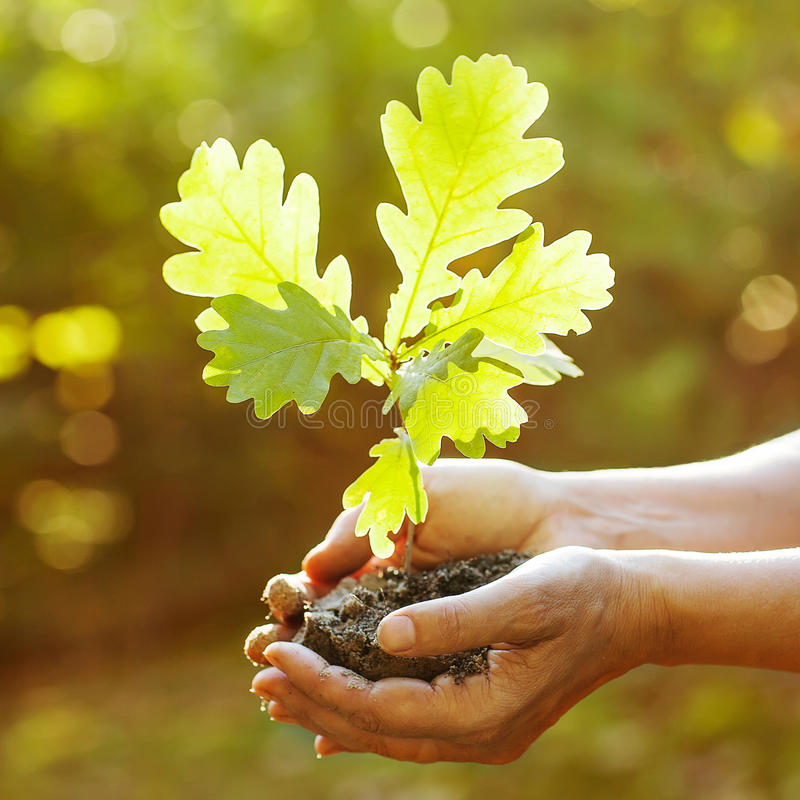 橡木树苗在手上。 免版税库存照片