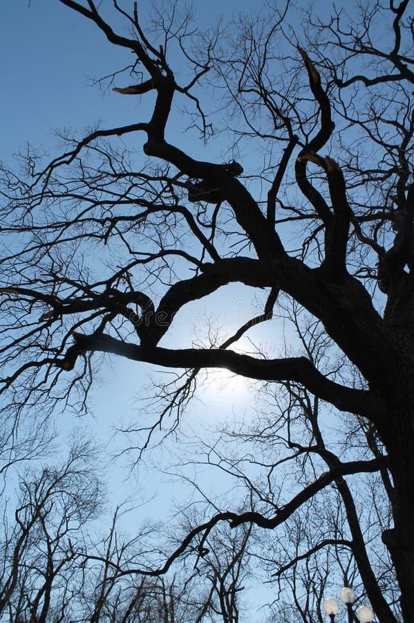 橡木树 免版税库存图片