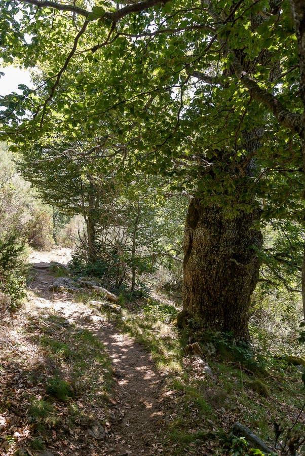 橡木森林在丰特斯Carrionas国立公园  帕伦西亚 库存图片