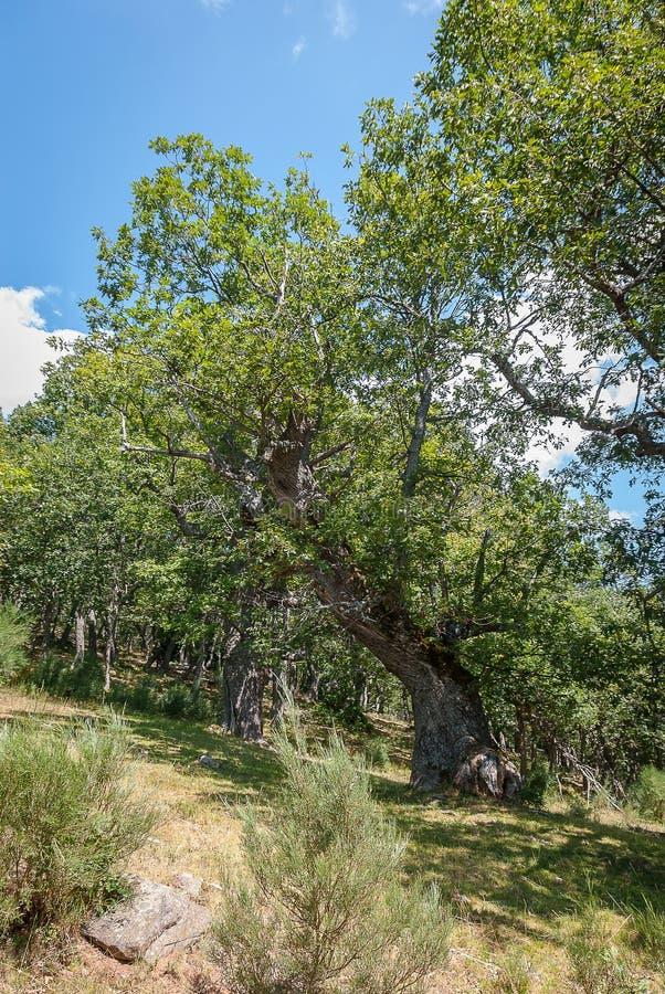 橡木森林在丰特斯Carrionas国立公园  帕伦西亚 免版税库存照片