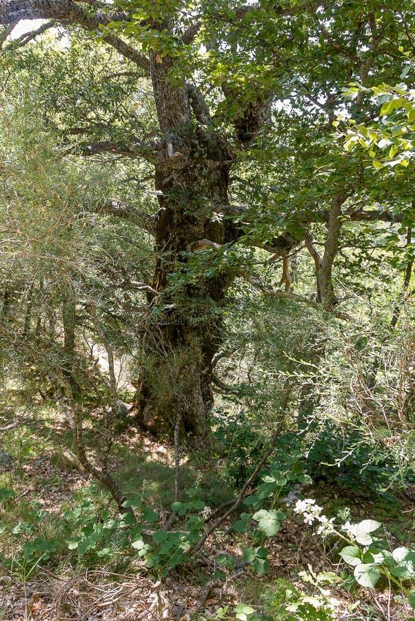 橡木森林在丰特斯Carrionas国立公园  帕伦西亚 免版税库存图片