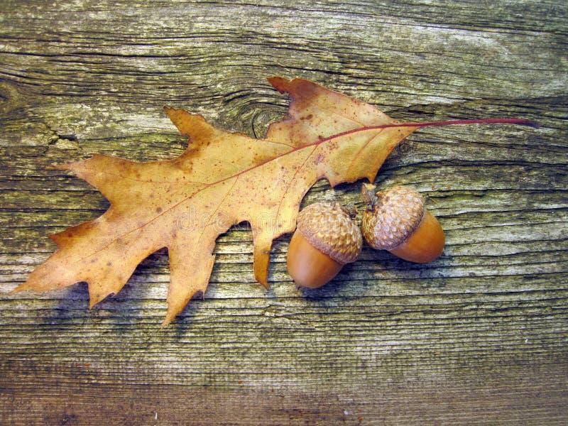 橡木橡子和叶子 库存照片