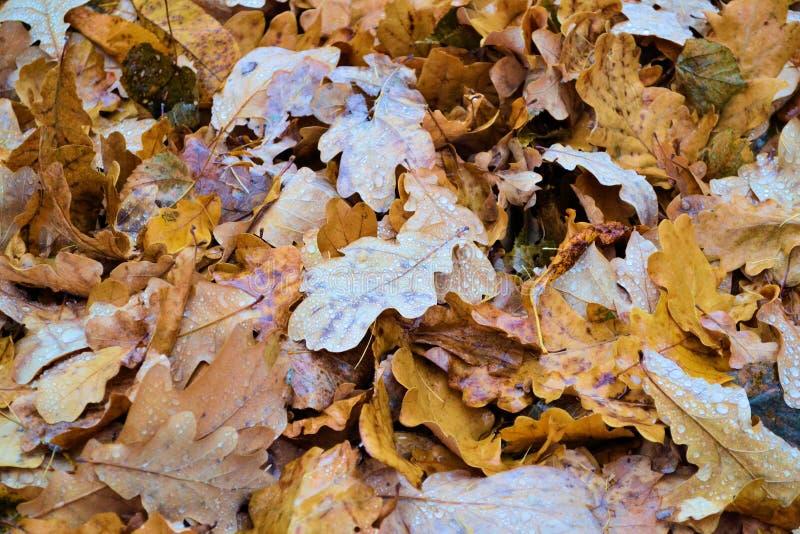 橡木秋天与雨珠的落叶特写镜头 秋天背景特写镜头上色常春藤叶子橙红 库存图片