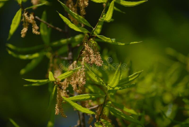 橡木花粉结构树 免版税库存照片