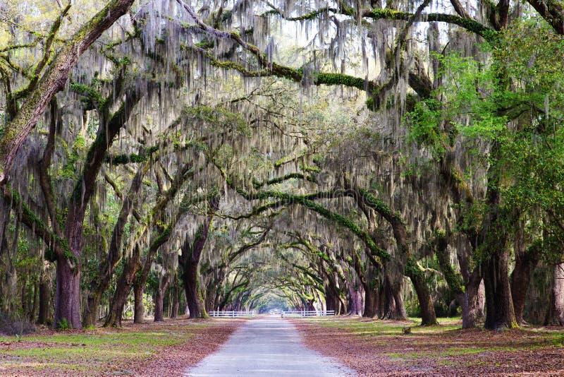 橡木路径种植园南部的结构树 库存照片