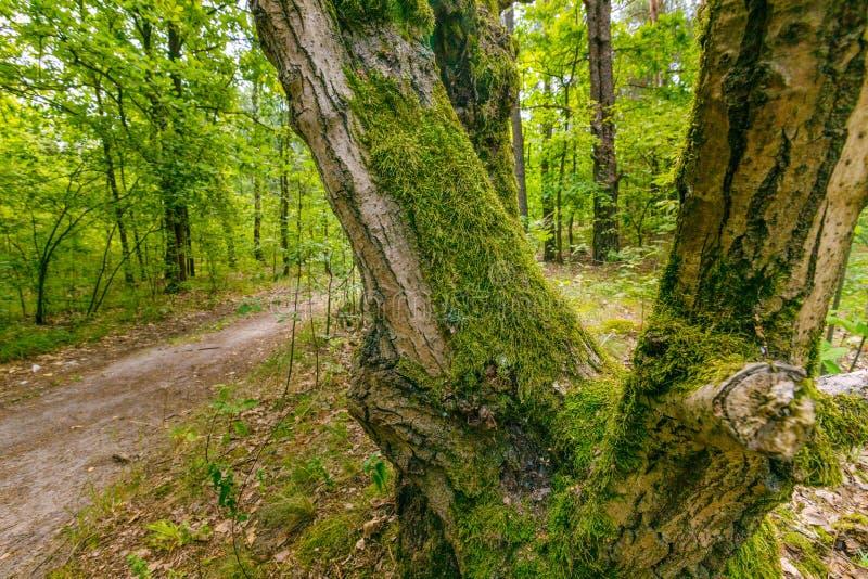 橡木长满与绿色青苔 免版税图库摄影