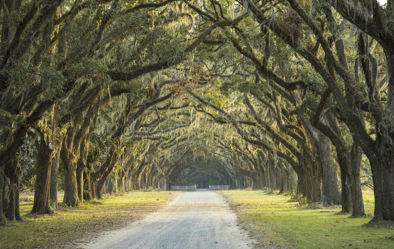橡木长的大道  图库摄影
