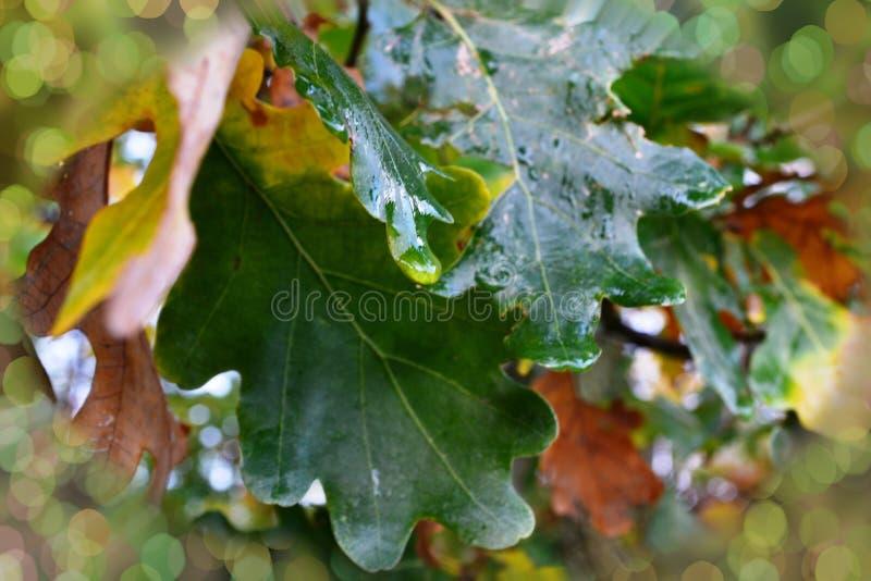 橡木,特写镜头绿色和黄色叶子,在秋天,与雨珠 免版税图库摄影