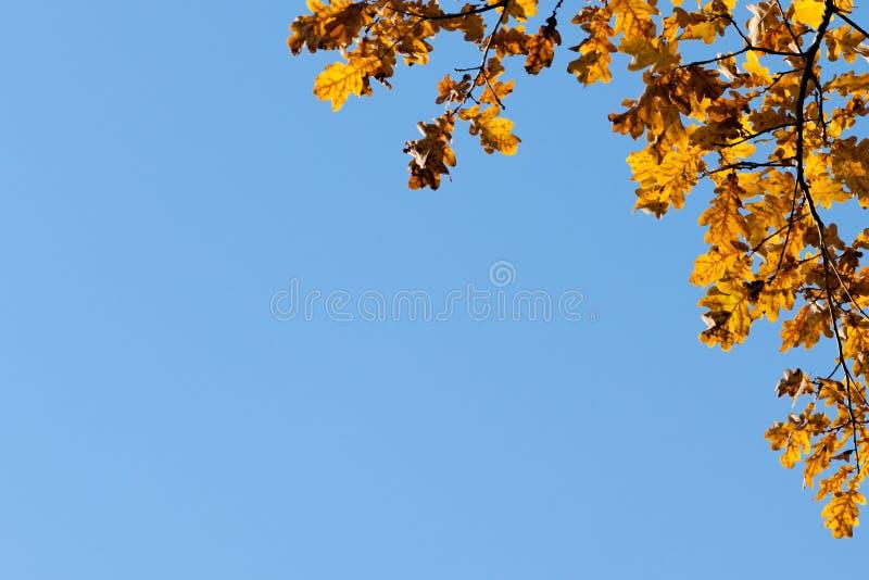 橡木离开框架蓝色背景 免版税库存照片