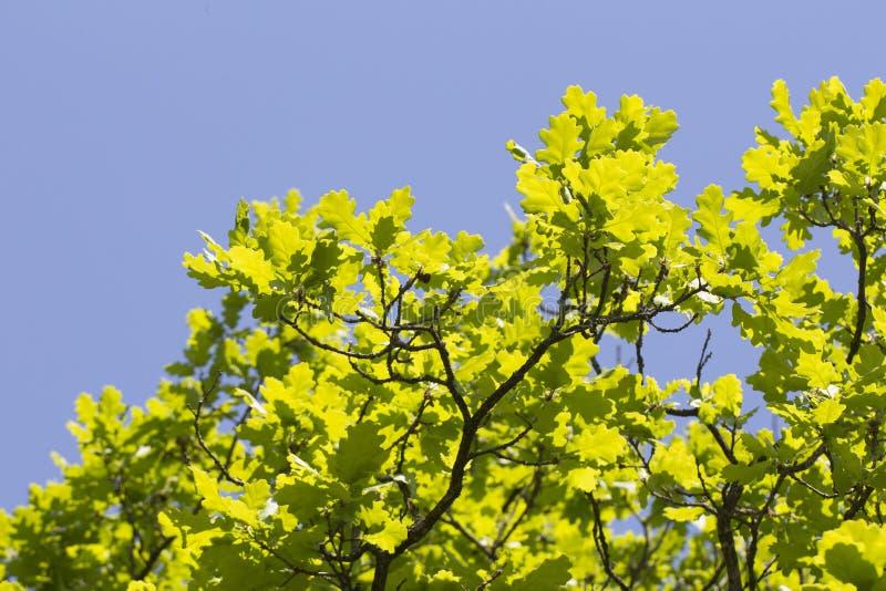 年轻橡木离开晴朗的五颜六色的春天背景 免版税库存照片