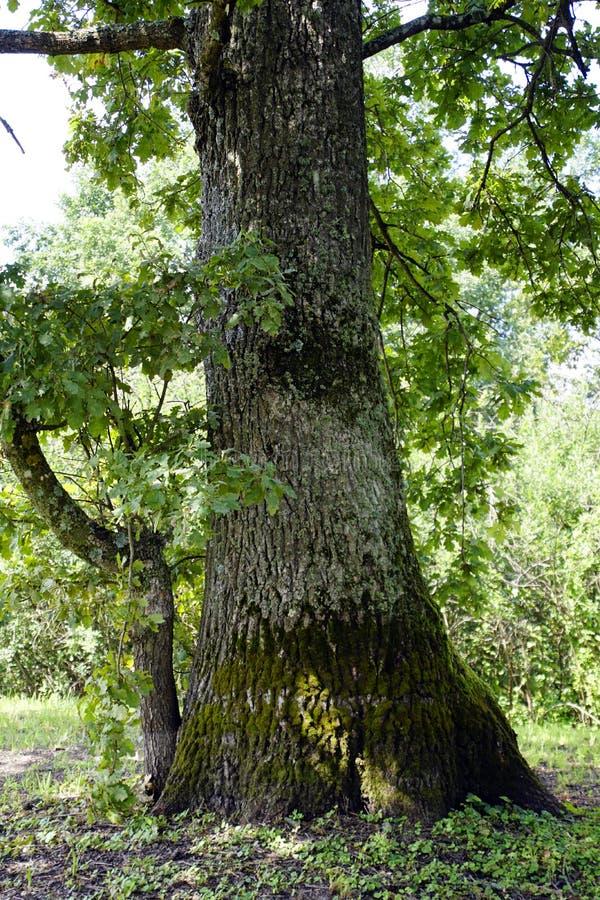 橡木 生长在普里皮亚季河的洪泛区的一棵老树 库存照片