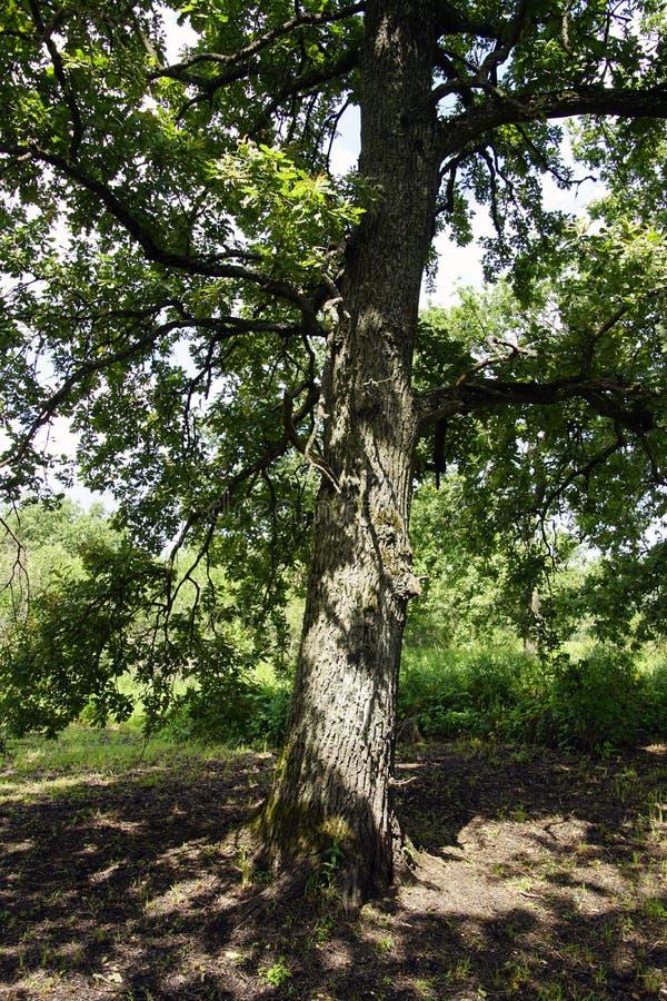 橡木 生长在普里皮亚季河的洪泛区的一棵老树 免版税图库摄影