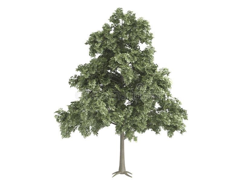 橡木petraea栎属 库存例证