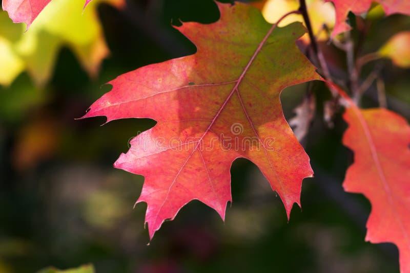 橡树分支与秋天红色阳光的离开 库存图片