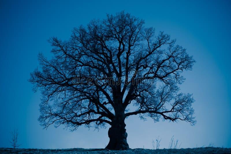 橡树剪影在晚上 免版税库存照片