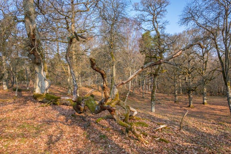 橡树在有一棵下落的树的一个森林地 库存图片