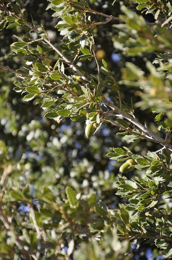 橡树有绿色橡子背景在Dikti山森林里  库存图片