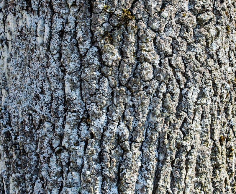 橡树木吠声的自然 库存图片