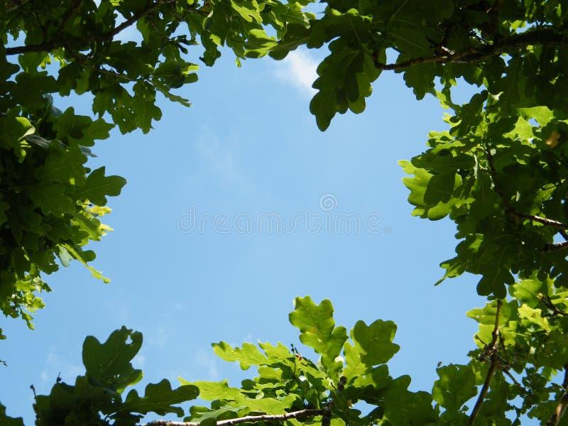 橡树框架叶子  图库摄影