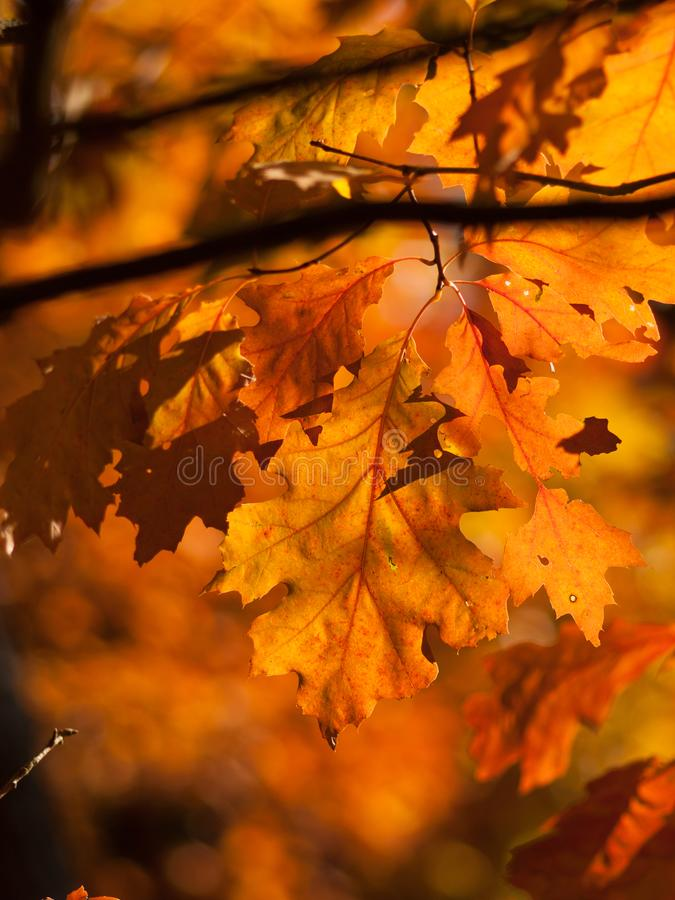 橡树橙色叶子  免版税库存照片